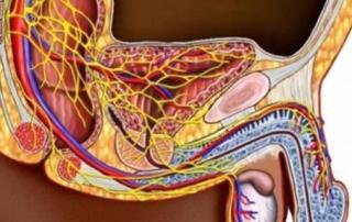 Строение половх органов у мужчин